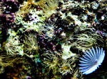 Reef Coral II