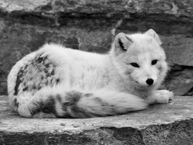 Arctic Fox by angelicque