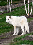 Arctic Wolf XI