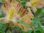 Ericaceae VII