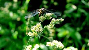 Odonata VII