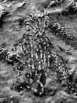Devonian Period Fossil XVIII