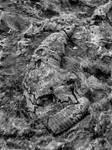 Devonian Period Fossil XXIV