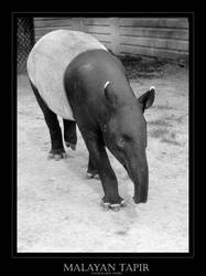 Malayan Tapir by angelicque