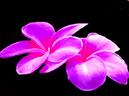 pink flower by Sassafras-Chipie