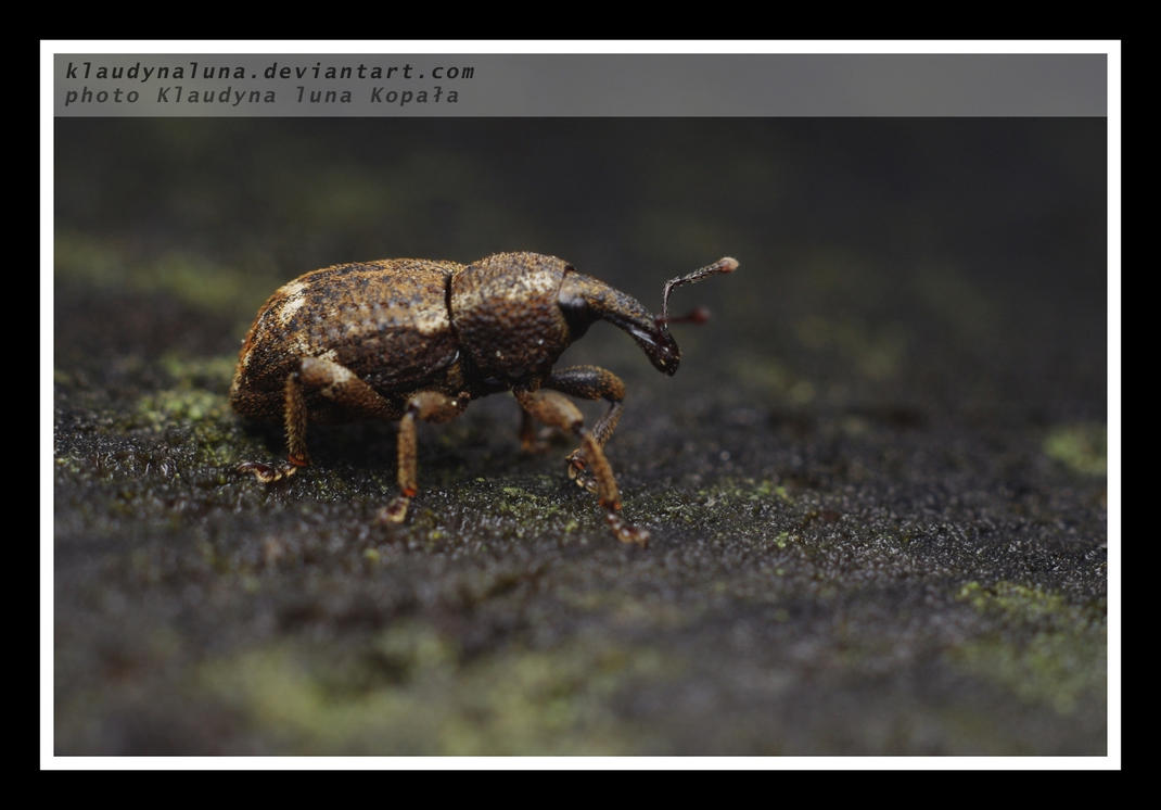 beetle iii by klaudynaluna