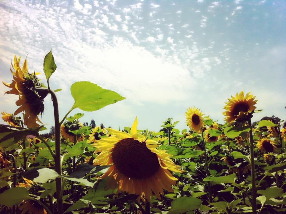 Sunflower field by Swarelle
