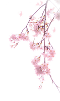 Cherry blossoms PNG #4