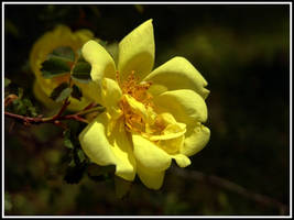 A Yellow Rose by littledubbs