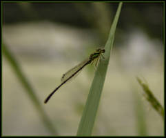 Dragonfly by littledubbs