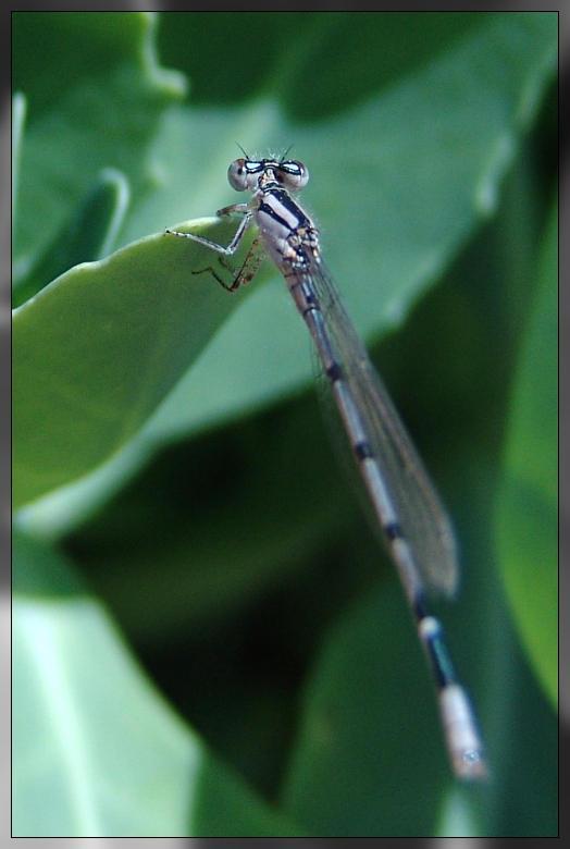 Dragonfly 2 by littledubbs