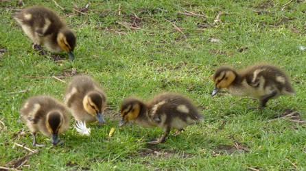 Ducklings by Louvan