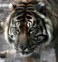 Tiger sw by Ka-Kind
