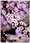 Spring blossoms - 7