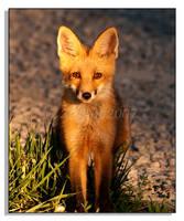 Red Fox - 1
