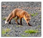 Red Fox - 2
