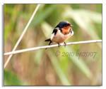 Barn Swallow - 1