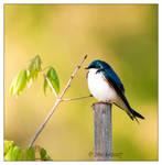 Tree Swallow - 1
