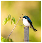 Tree Swallow - 1