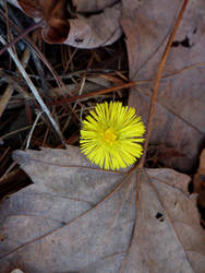 Tussilage / Coltsfoot
