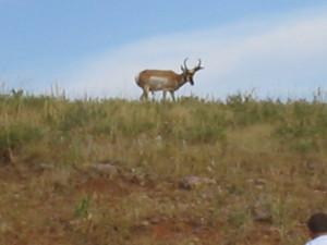 Antelope by bigbeatlesfan8