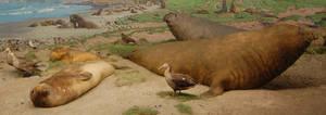 Elephant Seal Diorama 1