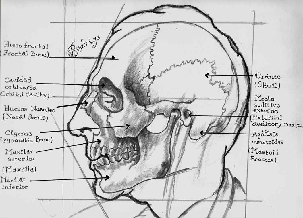 Craneo-vista Perfil (Estudio Anatomia) by RodrigoSojo14 on DeviantArt