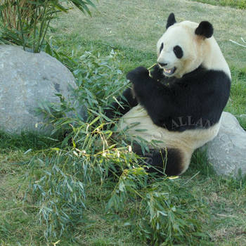 The panda is just relaxing and having a snack by squashmequickly