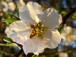 Spring Beauty by VeLisLaVaa