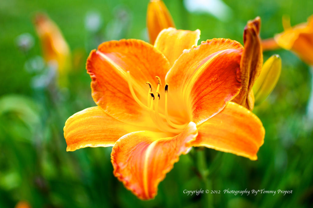 Orange Lily 0913 by TommyPropest-Candler