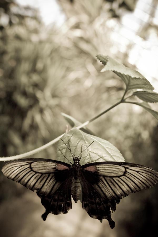Butterfly by drr104