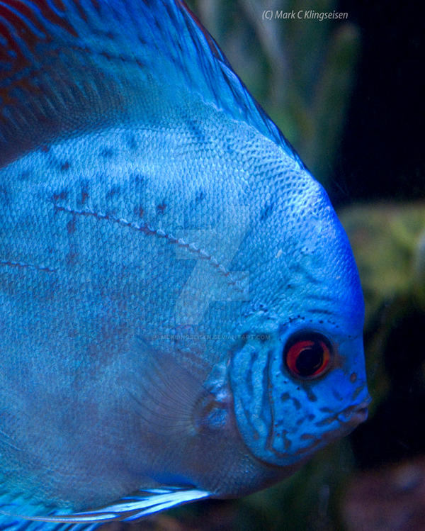 Royal Blue Discus by mcklingseisen