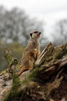 Meerkat by smevstock