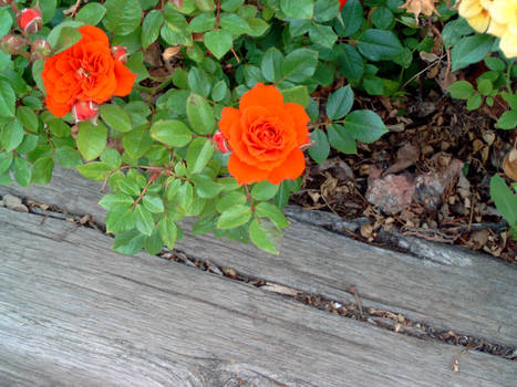 red orangish color mini-rose