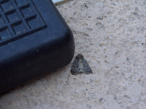 The detailed moth
