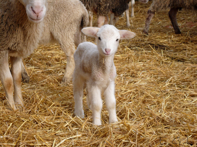 Baby sheep by Evicas on DeviantArt