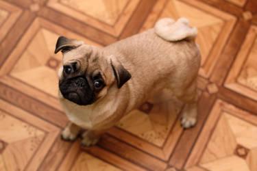 My sweet pug by lightlanaskywalker