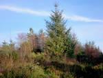 Christmas survivor - forestry landscape