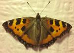 Moth on bedroom wall
