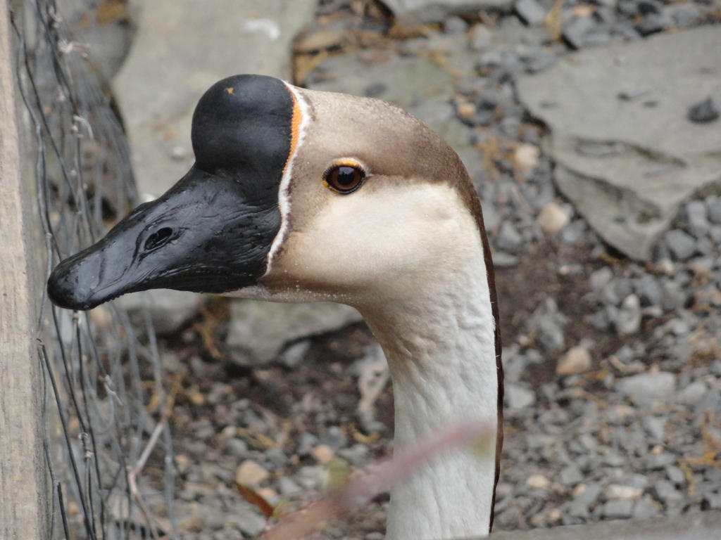That is one long neck (Chinese Goose) by Zoruaofepic