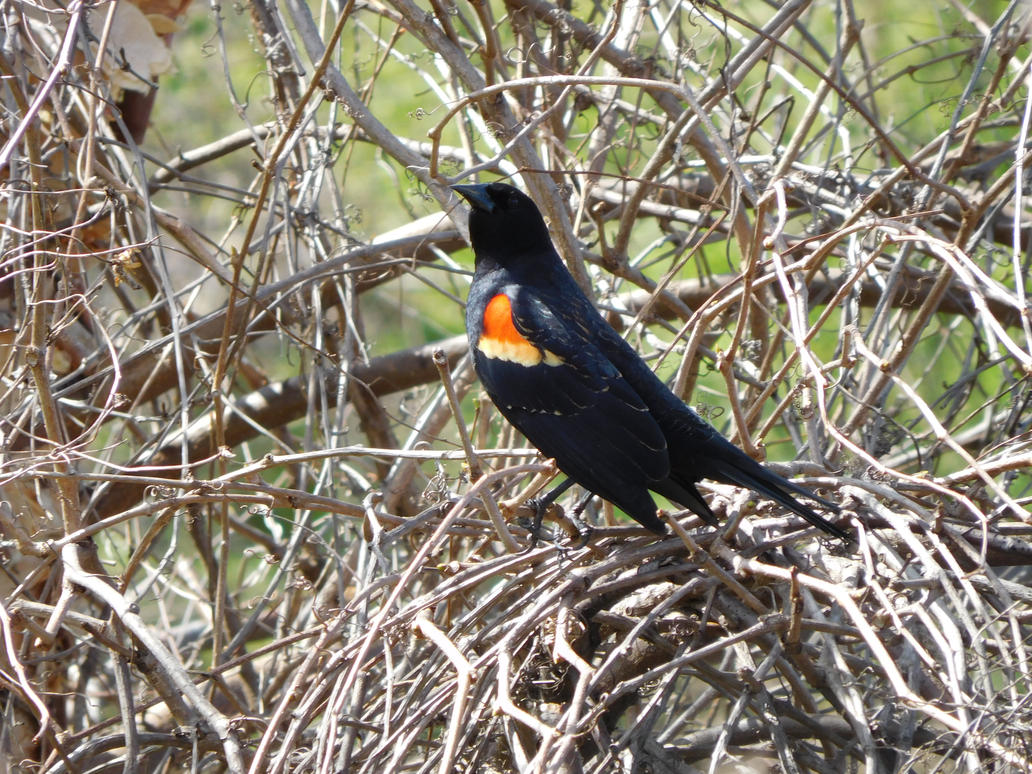 Another Red-Winged Blackbird by Zoruaofepic