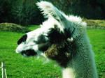 Llama by FloweryFruitFangs