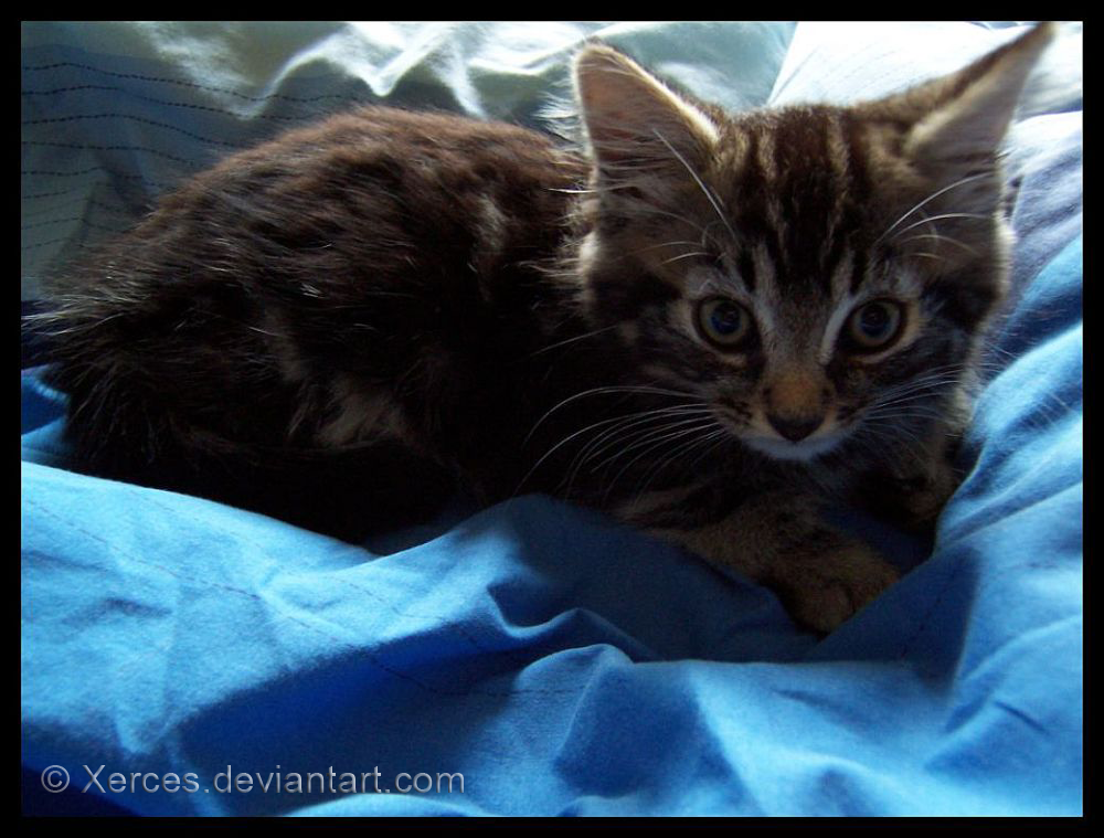 Kitten by Xerces