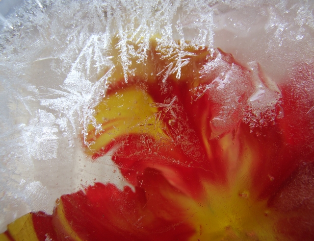 Tulip in ice . by velar1