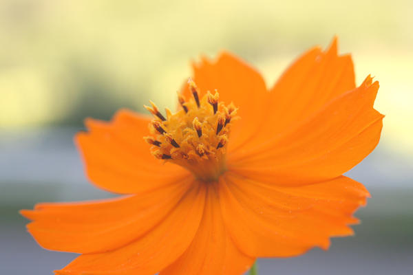Fall Cosmos - 03 by caffinefreek