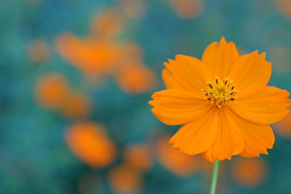 Fall Cosmos - 04 by caffinefreek