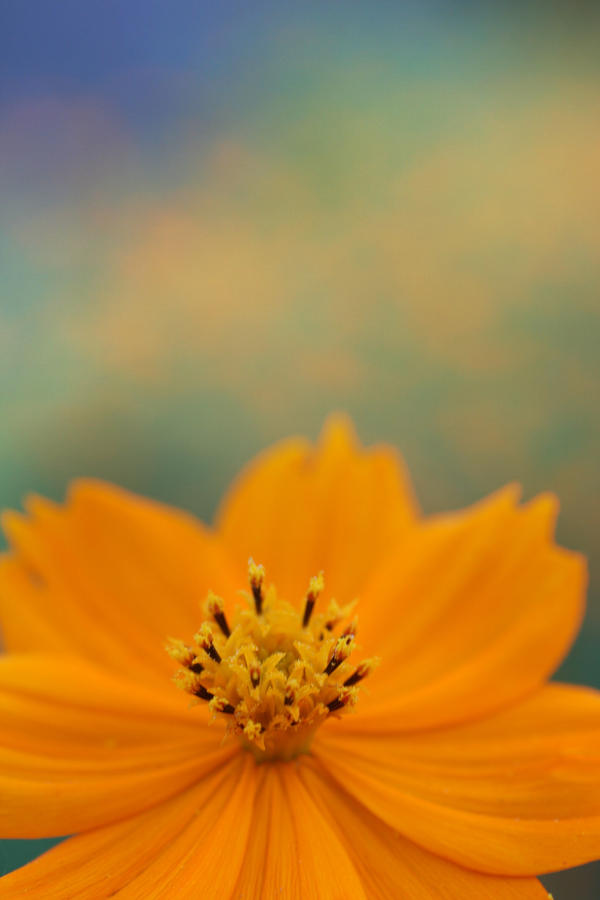 Fall Cosmos - 05 by caffinefreek