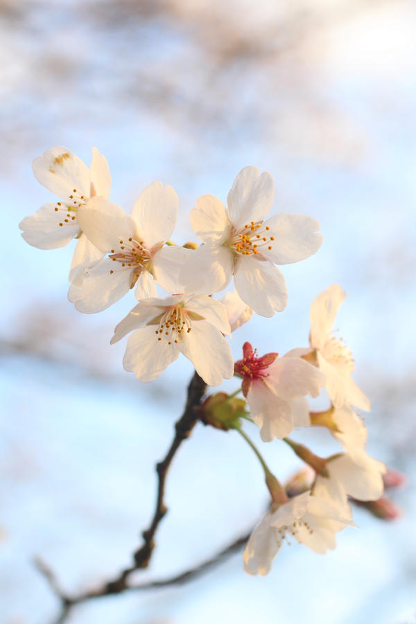Japanese Spring 2015 - 29 by caffinefreek