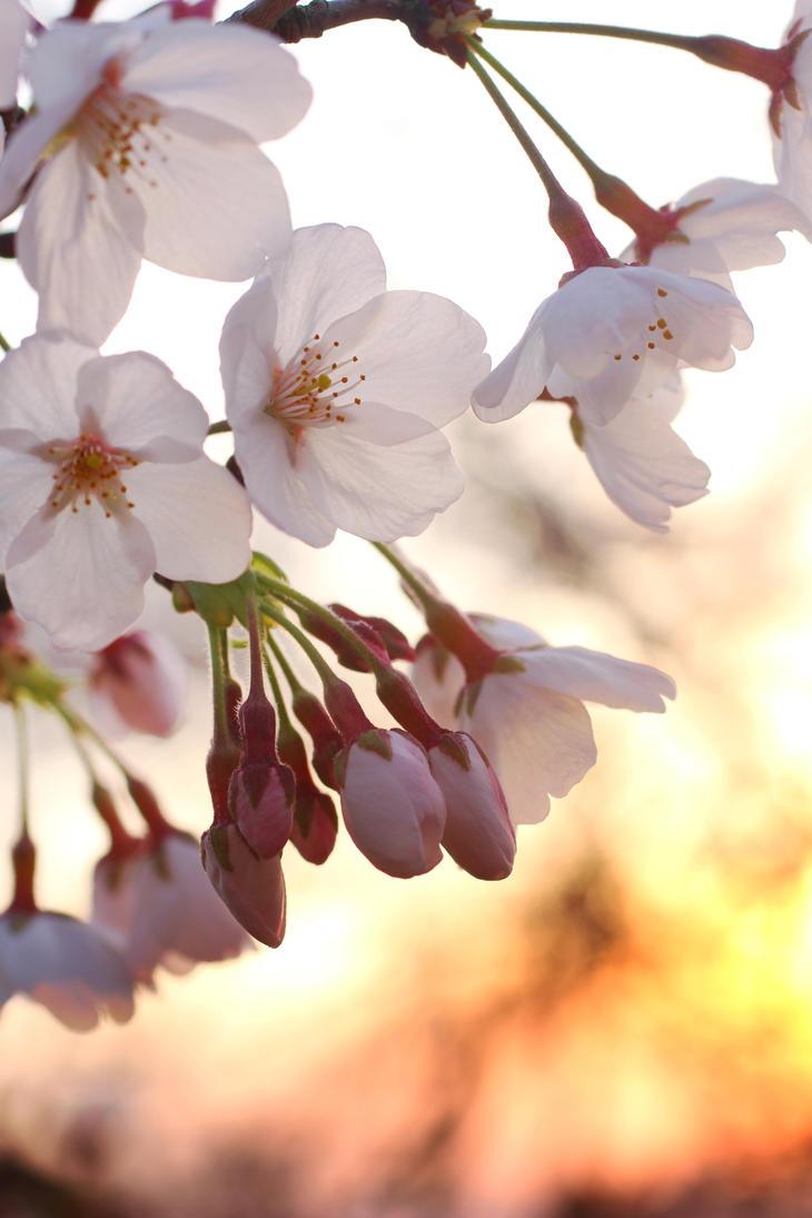 Japanese Spring 2015 - 30 by caffinefreek