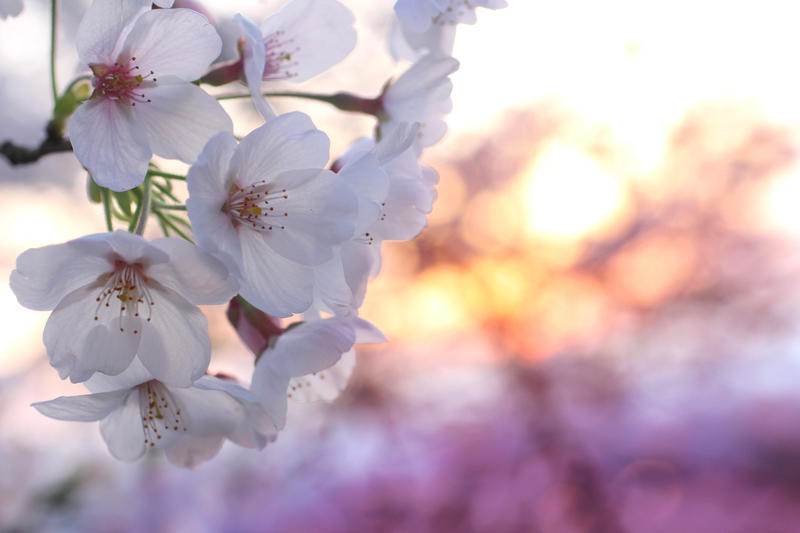 Japanese Spring 2015 - 32 by caffinefreek